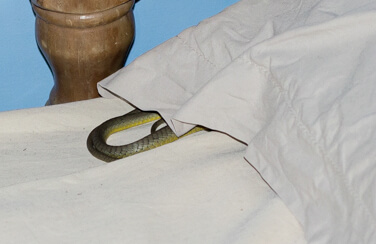 Eek, I've Just found a snake in my bed!