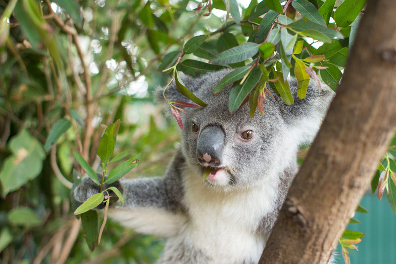 The Koala Experience at Currumbin Wildlife Sanctuary